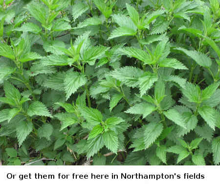 pick Stinging Nettle free in Northampton fields